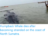 https://sciencythoughts.blogspot.com/2020/01/humpback-whale-dies-after-becoming.html