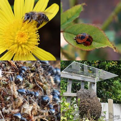 Honey bee, ladybird pupa cocktail ants