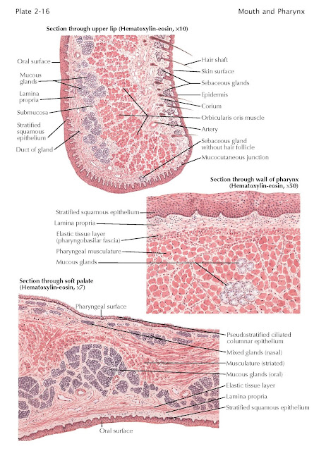Histology of Mouth and Pharynx
