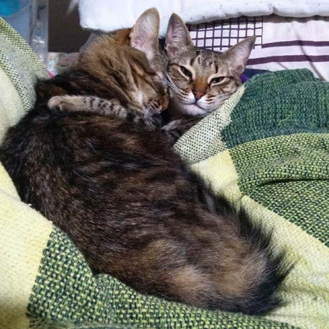 Gatinhas Poesia e Camomila dormindo abraçadas.