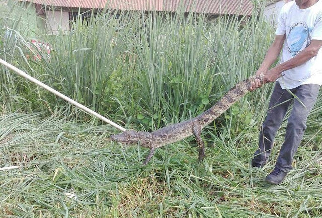 Jacaré-açu de 1,3 metro é capturado em terreno baldio em Guajará-Mirim