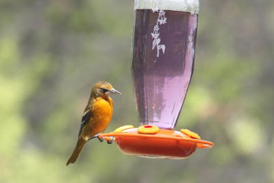 female oriole at oriole nectar feeder