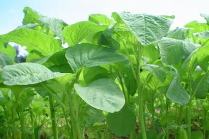 Manfaat Sayur Bayam Yang Baik Untuk Tubuh