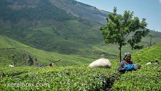 Tea plucking at Munnar tea estate, Kerala