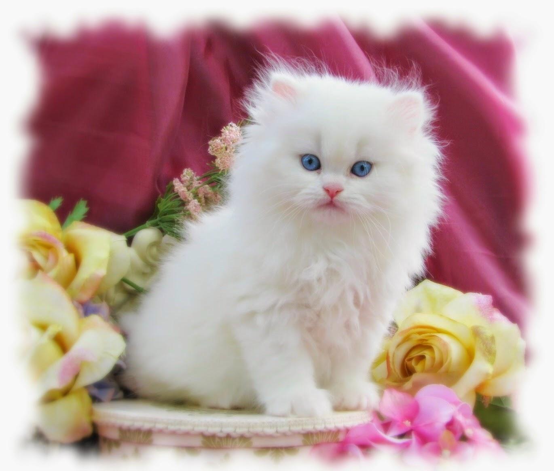 اشهر ثلاثة انواع من القطط الاليفة(شيرازى وسيامى وهيمالايا)