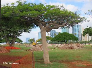 Baobab-like tree near Ala Wai harbor, Waikiki, HI