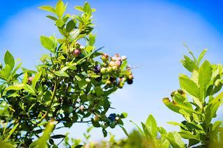 Blueberries growing at Thunderbird Farm Broken Arrow, OK