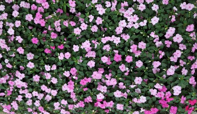 上海の公園に咲くフロックス