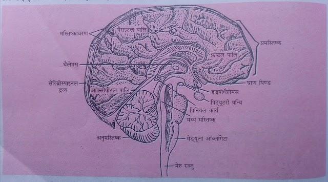 मानव मस्तिष्क : संरचना तथा विभिन्न भागों के कार्य-: