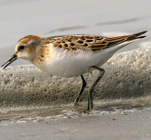 Image of Little stint - Calidris minuta