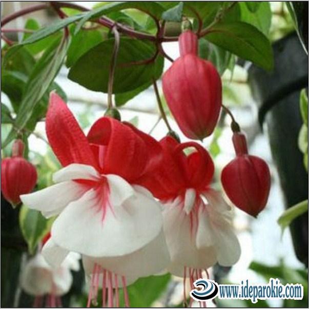 Budidaya Bunga Lampion  Kombinasi, Humus Bambu atau Phospor dan Serap Debu