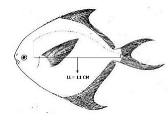 Linea Lateralis - Ikan Dorang Atаu Bawal Hitam