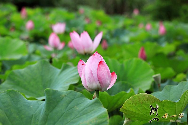 姑娘廟三樹路荷花池|三峽北大蓮花季|三峽北大私房賞花景點