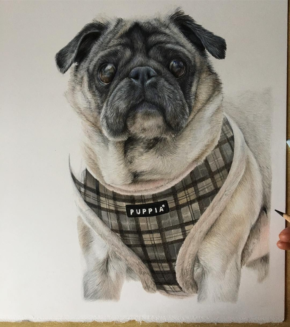 11-Pug-Bethany-Vere-Colored-Pencils-Realistic-Animal-Drawings-www-designstack-co