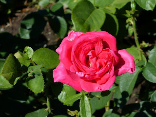 Rosa 'Miss All American Beauty' - Rosier Hybride de thé