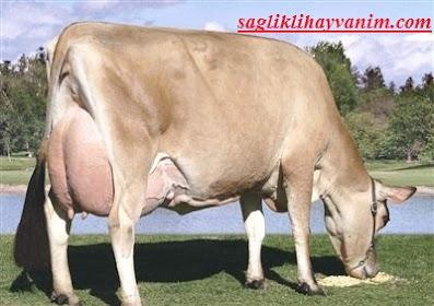 süt ve besi hayvancılığı