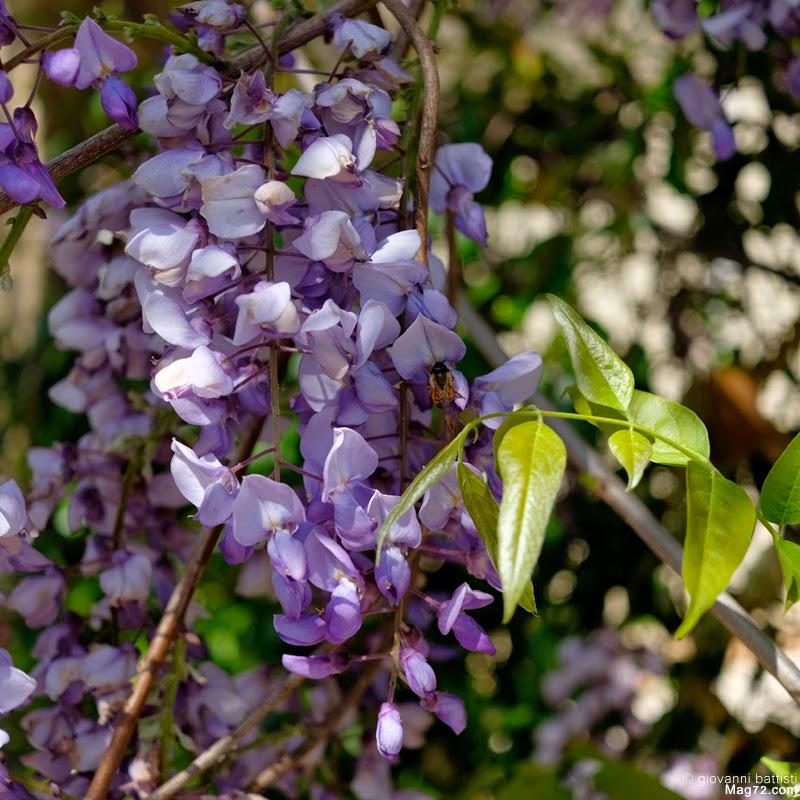 Fotografia di fiore di glicine
