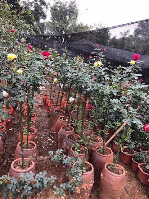 Nội, ngoại thất: Tree Rose- Hoa Hồng đẹp cho 1 diện tích khiêm tốn. Hong-than-go