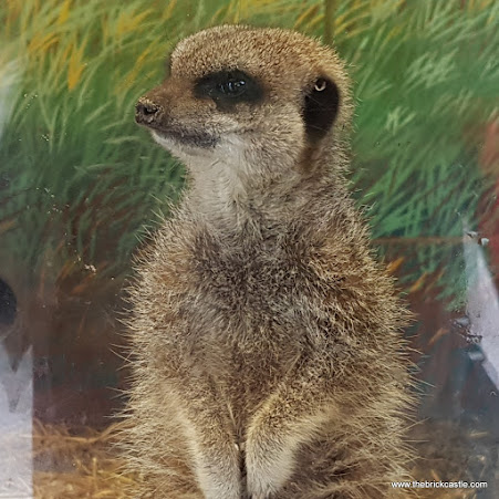 A fabulous photo I took of a meercat at Knowsley, standing and staring directly at me, from the side because of how his vision works