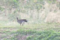 Cackling goose, James Campbell National Wildlife Refuge, Oahu - © Denise Motard