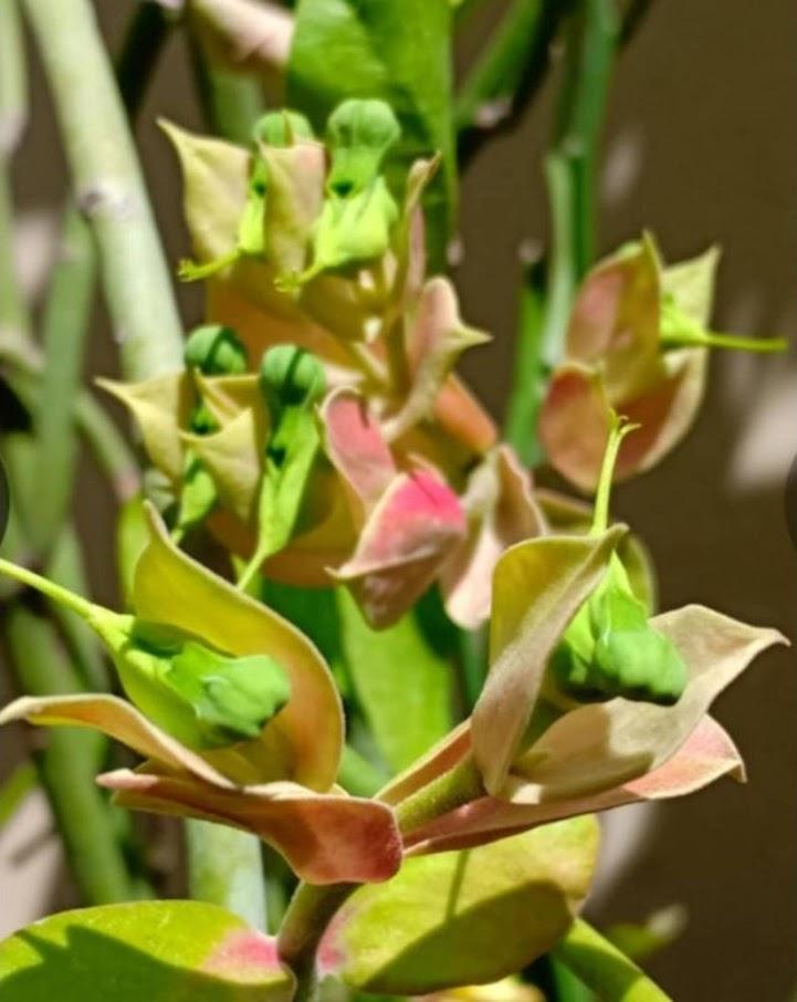 Tanaman hias bunga Cucak Rowo Nusa Tenggara Barat