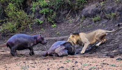 Singa menggigit induk kuda nil yng tak berdaya