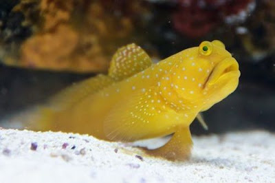 Ikan Watchman Gobies