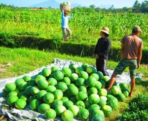 Petani semangka sukses pak Ketut Dapan