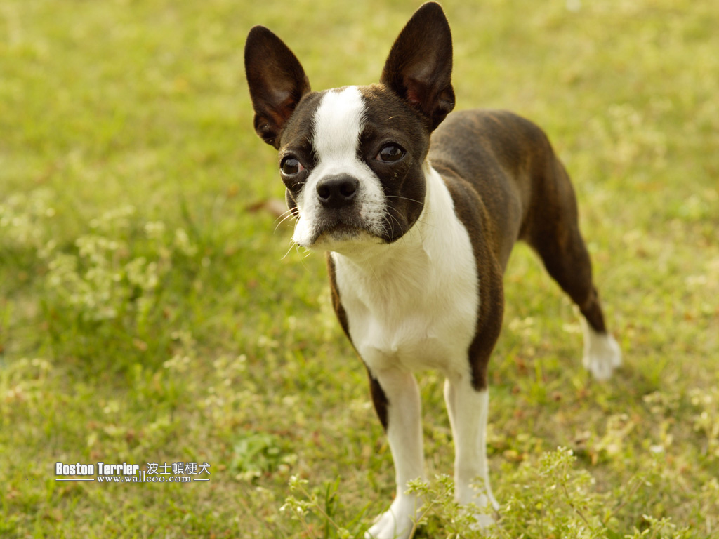 Dogs With Large Ears