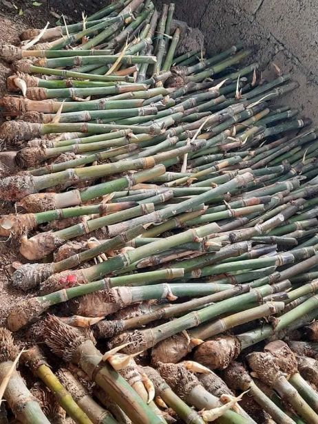 Group aims to rehabilitate Marikina River by planting giant bamboo