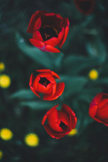 خلفيات ورود حمراء رومانسية للموبايل