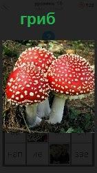 растет ядовитый гриб мухомор три штуки