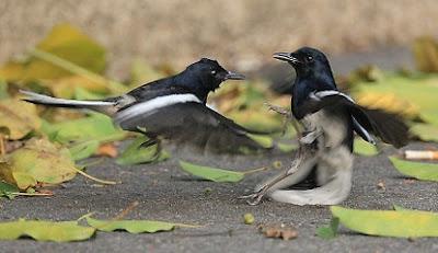 cara-merawat-burung,Yang-Bagus-dan-Berkualitas,cara-memilih-kacer-jantan,kacer-bagus,rahasia-burung-kacer,kacer-petarung,kacer-stres,kacer-siap-lomba,trotol-jantan-juara,,