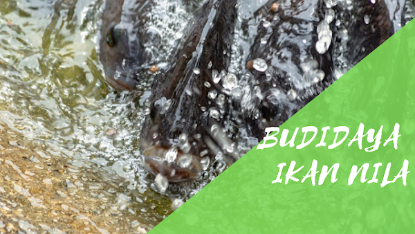 Cara Budidaya Ikan Nila yang Baik Untuk Pemula