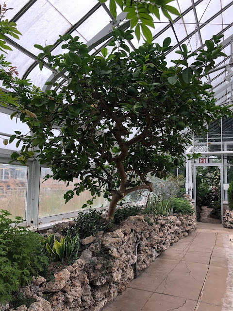A lemon tree greets us in the Mediterranean Room at Oak Park Conservatory.