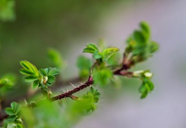 40+ nelkytplus valokuvaus makrokuvaus macro-objektiivi luontokuvaus puutarha ruusu