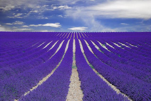 cánh đồng hoa oải hương đẹp nhất thế giới 11