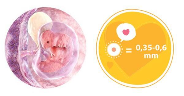 Ở tuần thai thứ 4, em bé chỉ nhỏ như một hạt vừng.