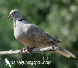 Tips Cara Merawat Burung Tekukur Deruk Derkuku Puter Agar Rajin Manggung Hobi Si Petani