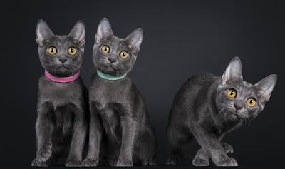 Cara Merawat Ras Kucing Korat