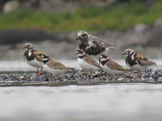 Common Ringed Plover in Newfoundland