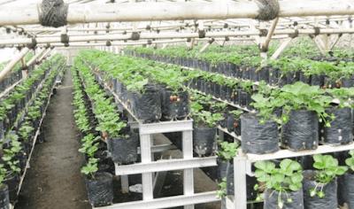Langkah - Langkah Budidaya Tanaman Strawberry