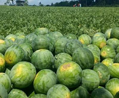 Semangka di ladang