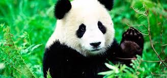 OSO PANDA COMO ANIMAL DE PODER