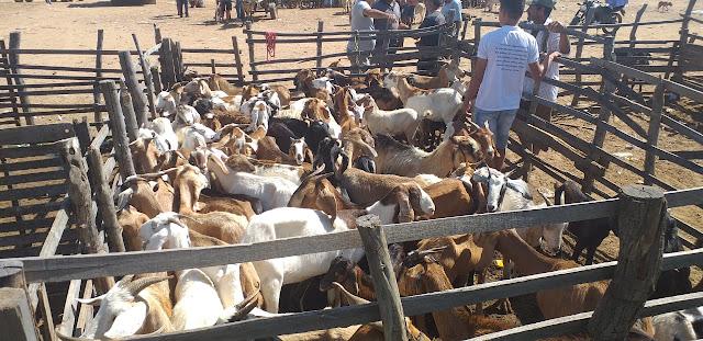 Resultado de imagem para feira de gado