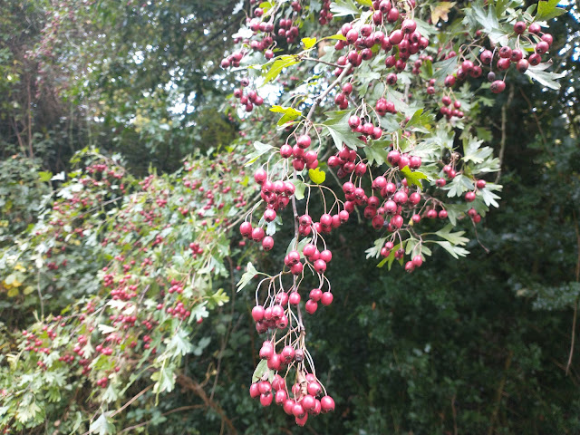 Hawthorn tree Crataegus monogyna with fruit