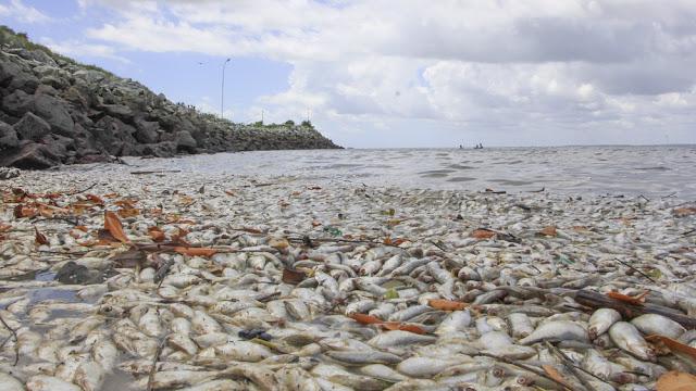 Autoridades investigam mortes de centenas de peixes em Ribamar, no MA
