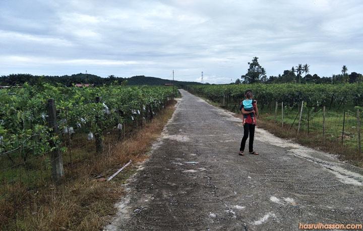 Ladang jambu batu Lohan di Trong, Taiping Perak