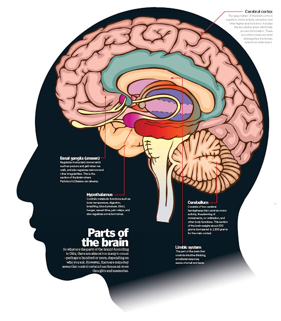 Your Brain Anatomy
