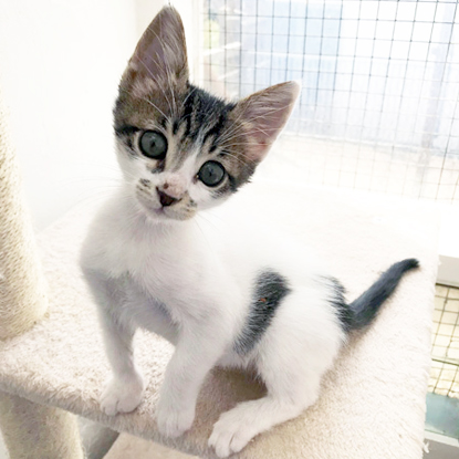 tabby and white kitten sat on scratch post in pen
